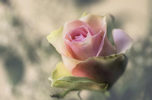 Обои Нежная розовая роза на размытом фоне