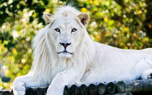 Обои Белый лев отдыхает в заповеднике