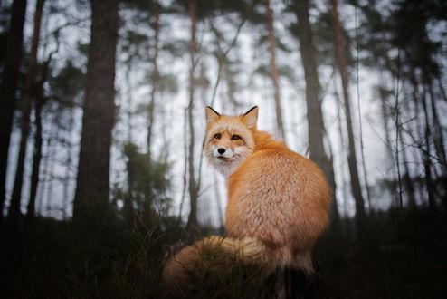 Обои Лиса в лесу обернулась и смотрит на нас, фотограф Iza Lyson