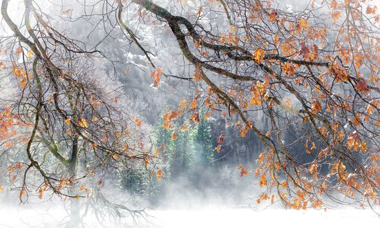 Обои Осенние листья на ветках в снегу ранней зимой
