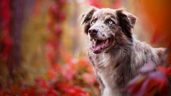 Обои Собака породы австралийская овчарка на размытом фоне осенней природы