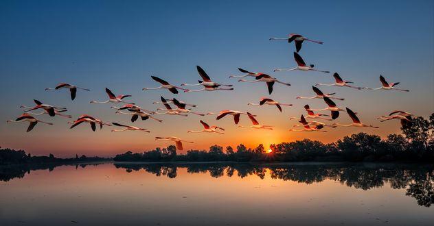 Обои Стая фламинго летят над гладью озера на закате