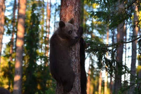 Обои Медвежата на сосне в бору, фотограф Konsta Punkka