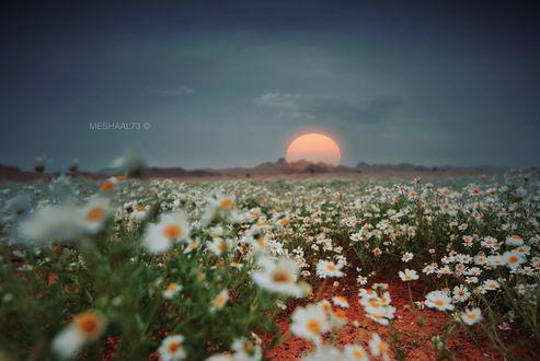 Обои Поле ромашек на закате, фотограф meshaal zouman