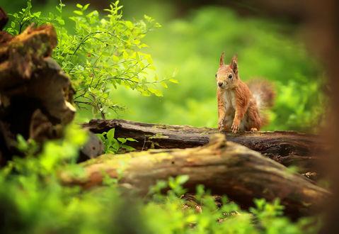 Обои Рыжая белка сидит на трухлявой ветке возле травы на размытом фоне