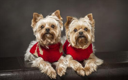 Обои Два йоркширских терьера в красных вязаных кофтах сидят чинно на диване
