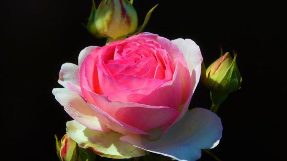 Обои Бело-розовая роза с бутонами на черном фоном
