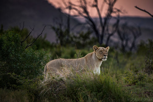 Обои Молодая львица на природе, фотограф Edward Peach