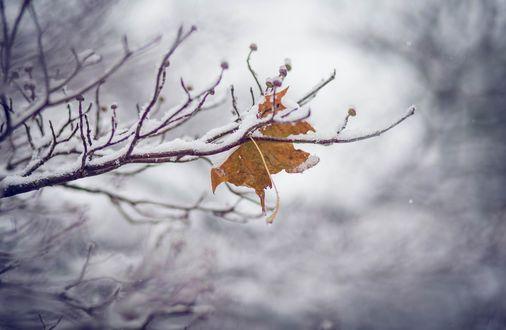 Обои Осенний кленовый лист на ветке, покрытой снегом зимой