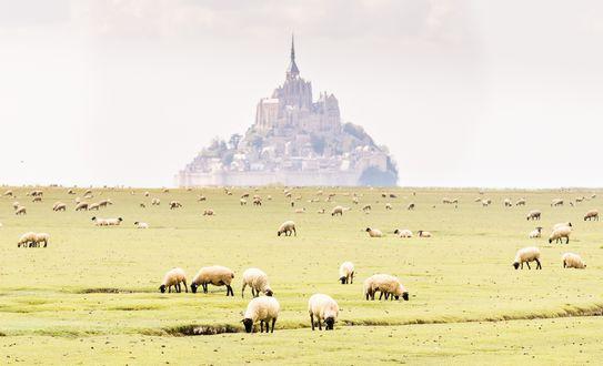 Обои Замок Монт-сан-Мишель во Франции в тумане. На лугу пасутся овцы