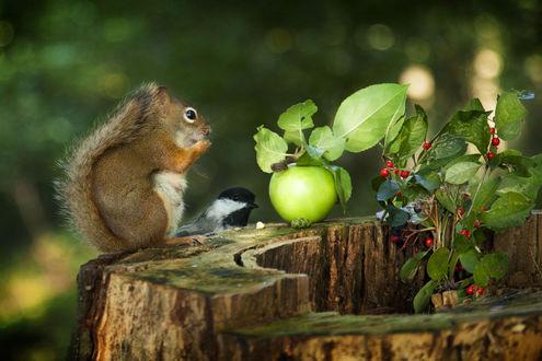 Обои Белочка на пне и рядом сорока перед яблоком и кустом с ягодами, фотограф Andre Villeneuve