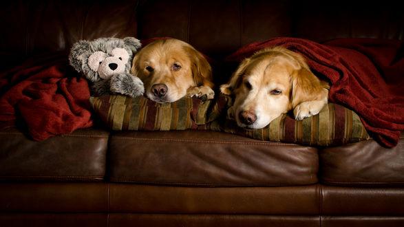 Обои Две собаки породы золотистый ретривер лежат на диване с плюшевым мишкой