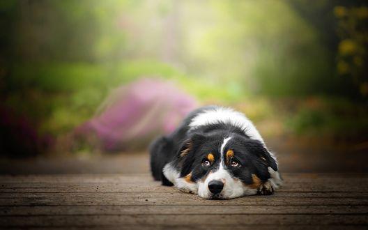 Обои Грустный пес породы Бордер-колли лежит на крыльце
