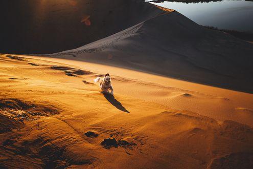 Обои Щенок породы золотистый ретривер бежит по песку, фотограф Sam Brockway