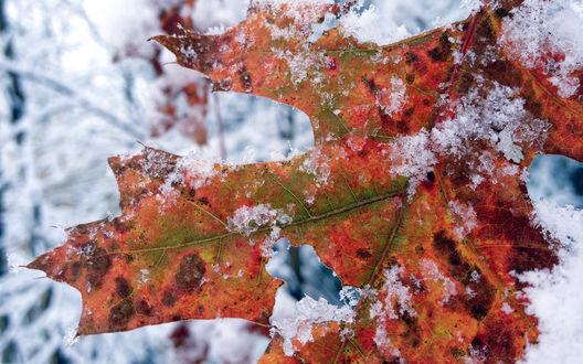 Обои Осенний кленовый лист под снегом