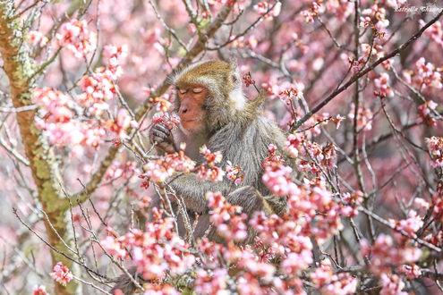 Обои Обезьяна на дереве цветущей сакуры