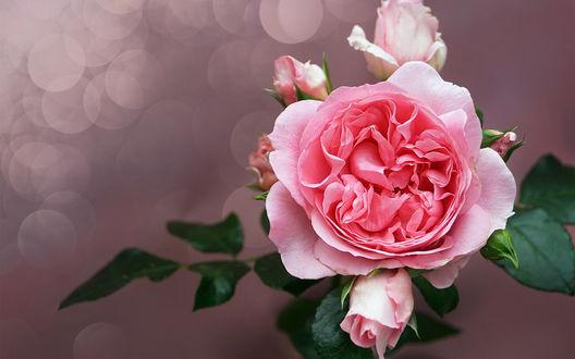 Обои для рабочего стола Розовая роза с бутонами (© zmeiy),Добавлено: 19.09.2017 00:14:42