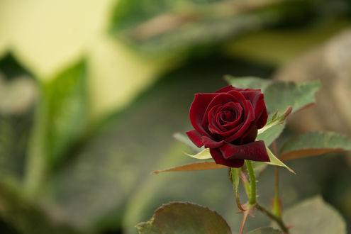 Обои Роза бордовая на размытом фоне