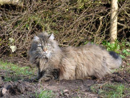 Обои Пушистый кот породы норвежский лесной развалился на фоне засохших веток, автор Herz_Koenigin
