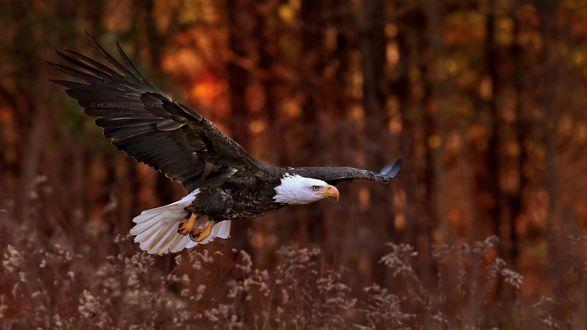 Обои Орел над высокой травой, фотограф Howard Brodsky
