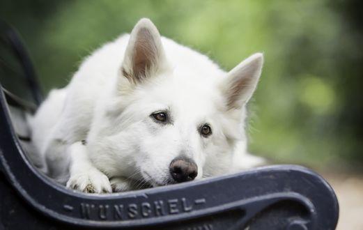 Обои Белая собака лежит на лавке