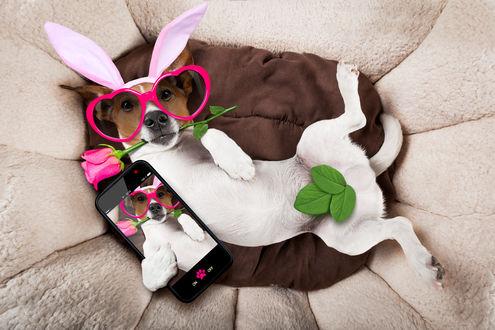 Обои Собака, породы Джек-рассел-терьер в очках, кролячьих ушках, с розой в зубах и смартфоном в лапе