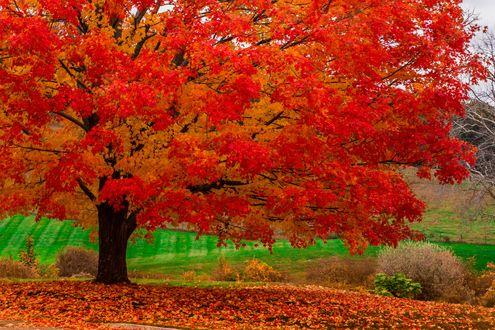 Обои Осенний парк, на переднем плане дерево с красной кроной, вокруг опавшие листья