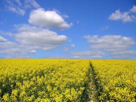 Обои Поле желтых цветов под голубым небом с белыми облаками