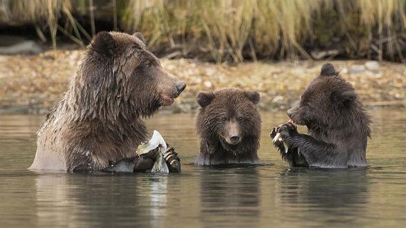 Обои Бурая медведица с двумя медвежатами плещатся в воде