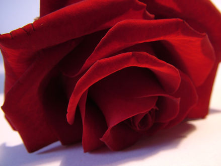 Обои Красная роза на белом