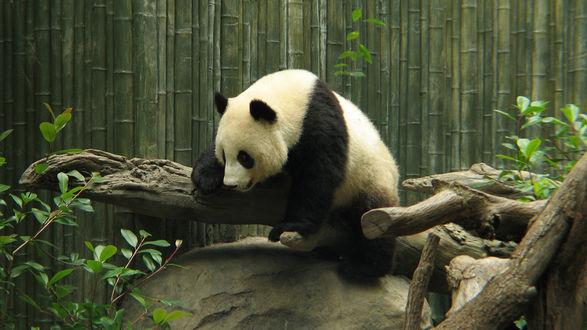 Обои Панда уснула, перелезая через ствол дерева