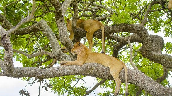 Обои Две львицы вольготно лежат на ветвях дерева