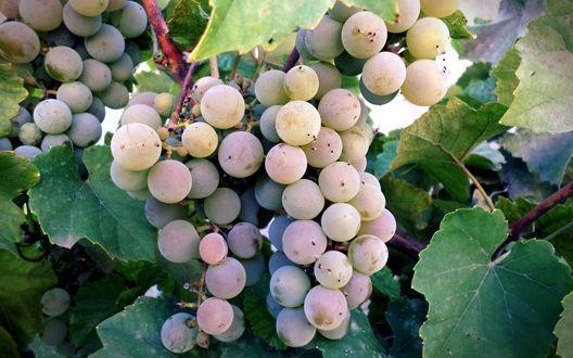 Обои Грозди винограда с листочками