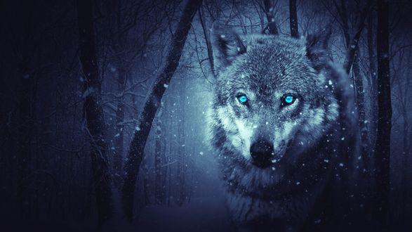 Обои Волк с голубыми глазами в лесу под снегом