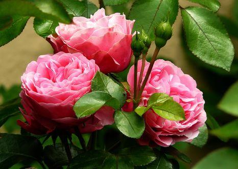 Обои Розовые розы с бутонами