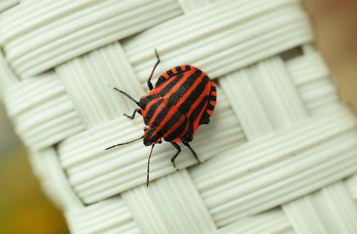 Обои Черно-красный полосатый жук на плетение из дранки