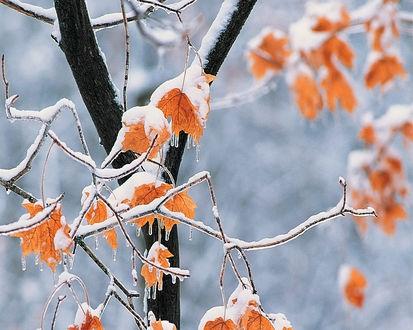 Обои Желтые листья клена на ветке покрытые снегом и сосульками