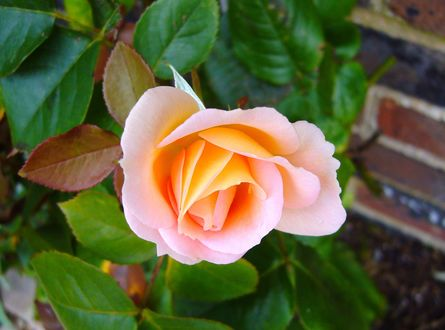Обои Нежная чайная роза