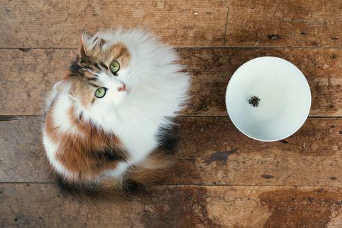 Обои Разношерстный кот сидит у пустой миски на дощатом полу