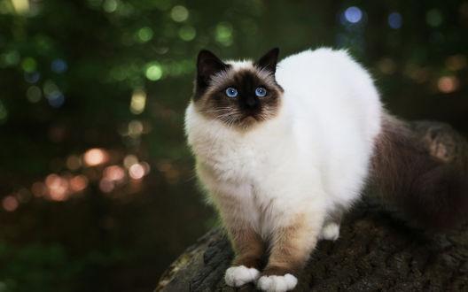 Обои Гималайская кошка на дереве, боке фон