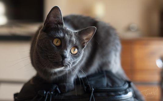 Обои Русская голубая кошка сидит на сумке
