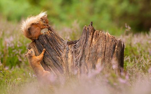 Обои Белочки на пне, окруженном травой, by James Moore