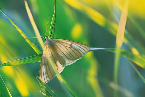 Обои Бабочка сидит на травинке. Фотограф Котов Юрий