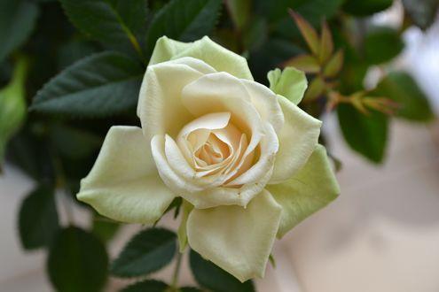 Обои Кремовая роза с листьями