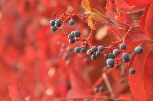 Обои Черные ягоды и красные листья на размытом фоне
