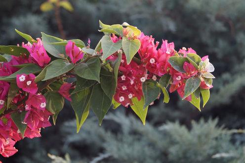 Обои Ветка в цвету на фоне размытой ели
