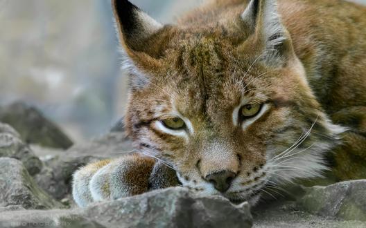 Обои Рысь лежит на камнях, фотограф Игорь Конатар