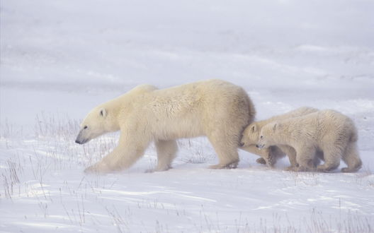 Обои Белая медведица с медвежатами