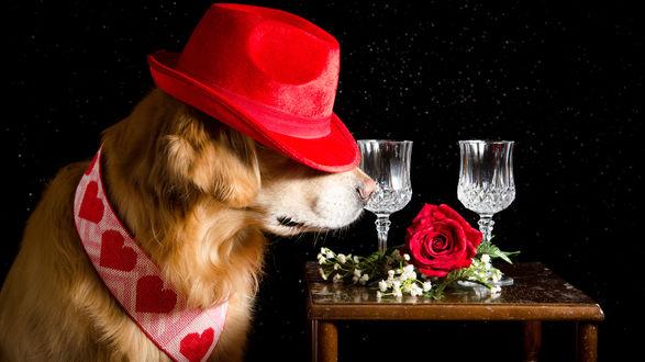 Обои Собака породы голден ретривер в красной шляпе и в ошейнике с сердечками, тянется к столу, на котором лежит букет с красной розой и стоят два бокала
