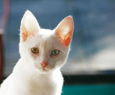 Обои Белая кошка с разноцветными глазами на размытом фоне